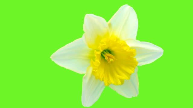 Narcissus blooming against chroma key background in a time lapse Hd 1080 video. video
