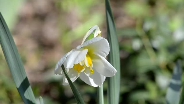 Narcissus blossoms in spring video