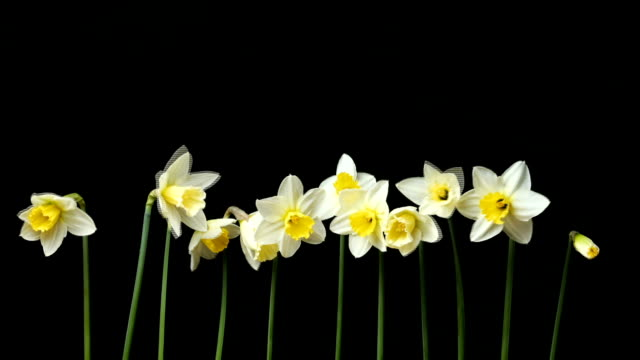 Narcissus opening process video