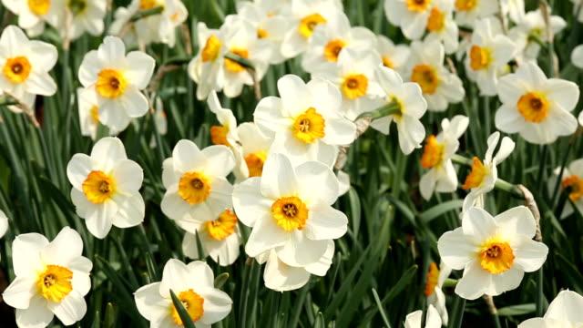 Narcissus video
