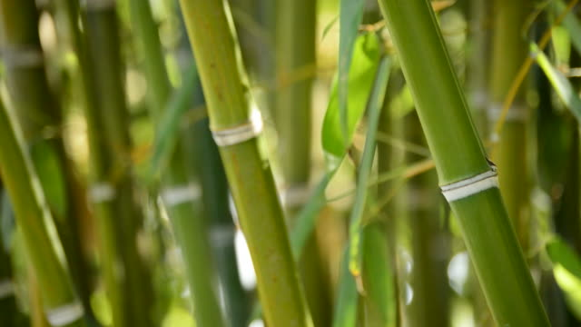Natural bamboo canes video