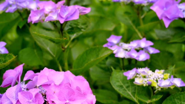 Natural hydrangea flowers against the background of green leaves. video