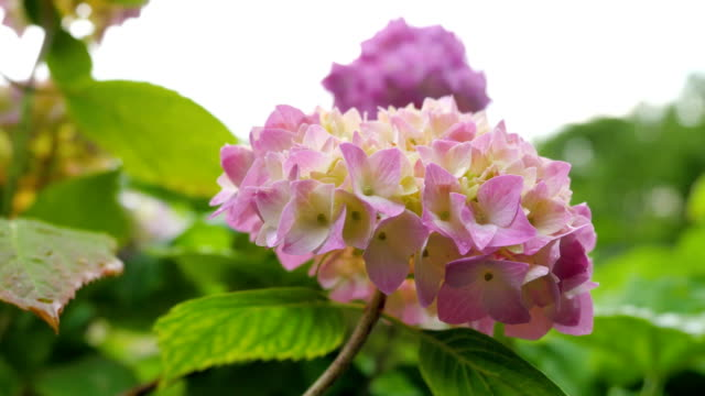 Natural pink hydrangea against the sky. video