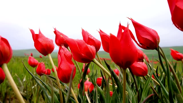 Natural Red Tulips fluctuating in the wind slow motion video