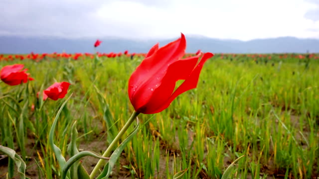 Natural Red Tulips fluctuating in the wind slow motion with dew video