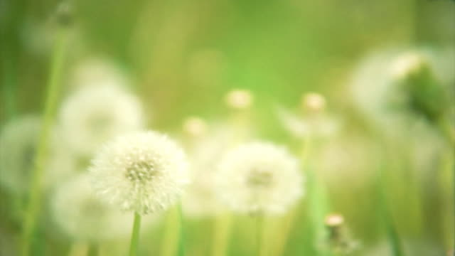 Natural video background. Dandelions in the meadow. HD. Loop video