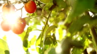 nature tomato light video