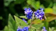 Nature, visiting honey bee        NA video