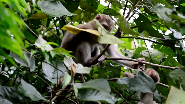 Naughty child monkey playing with parent on tree and looking at camera. video