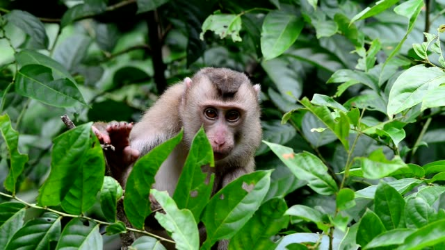 Naughty monkey looking and playing with photographer. video