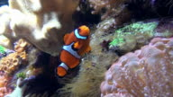 Nemo Clownfish video