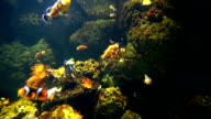 Nemo & tropical fish on coral reef in aquarium video