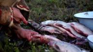 Nenets woman handles the fish. Tundra, the Yamal Peninsula. video