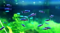 Neon fish in Aquarium video