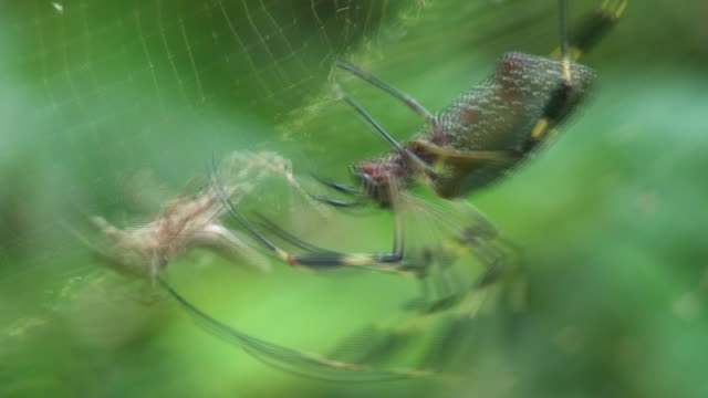 Nephila antipodiana attack on grasshopper video