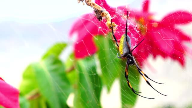 Nephila inaurata - Reunion Island video
