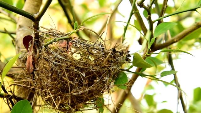 Nest of birds video