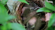 Nest of birds with small babies. video