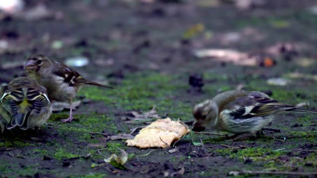 Nestling of bird Finch (chaffinch)  has grown up and now he walks on the ground and trying to get food. But still the female bird Chaffinch feeds its chicks. Chicks immediately open mouths at the sight of her mother video
