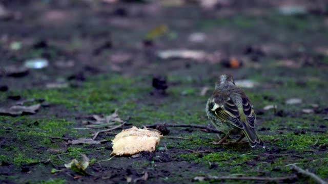 Nestling of bird Finch (chaffinch)  has grown up and now he walks on the ground and trying to get food. Chickens are studying everything around. He pecks everything, including bread and eats it. video