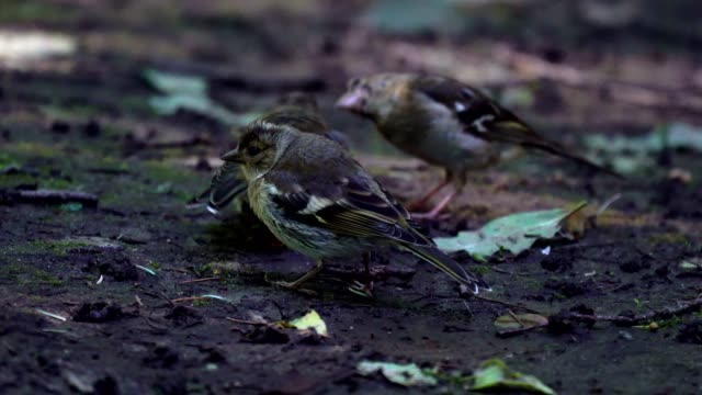 Nestling of bird Finch (chaffinch)  has grown up and now he walks on the ground and trying to get food. But still the female bird Chaffinch feeds its chicks. Chicks immediately open mouths at the sight of her mother. video