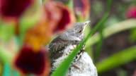 Nestling thrush Fieldfare sitting on a stone video