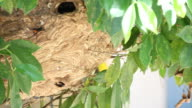 Nests wasps colony. video