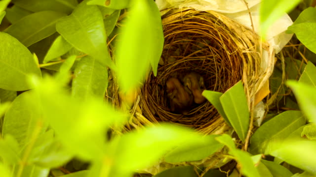 New born birds in nest video