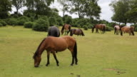 New Forest ponies Lyndhurst Hampshire England UK grazing and eating video