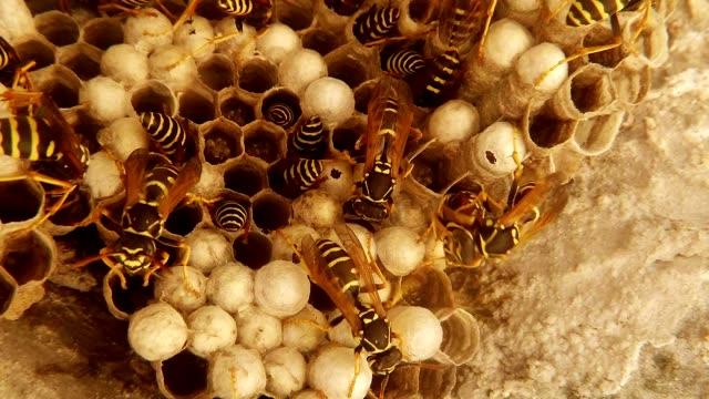 New Larvae Bite through Eggs Feeding in Nest Macro video