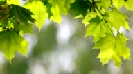 New maple green leaves with young ash keys. video