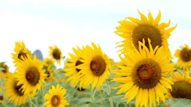 New Sunflowers Crop HD video