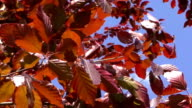 New tree leaves budding in the spring video