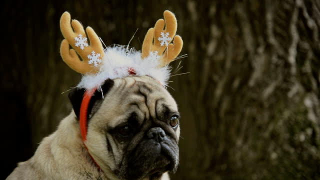 New Year. A dog of the pug breed in a new-year suit. video