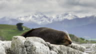 New Zealand Fur Seal video