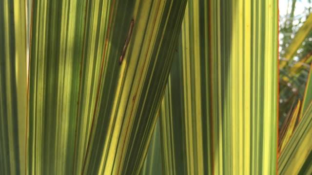 New Zealand Native Flax (Harakeke) video