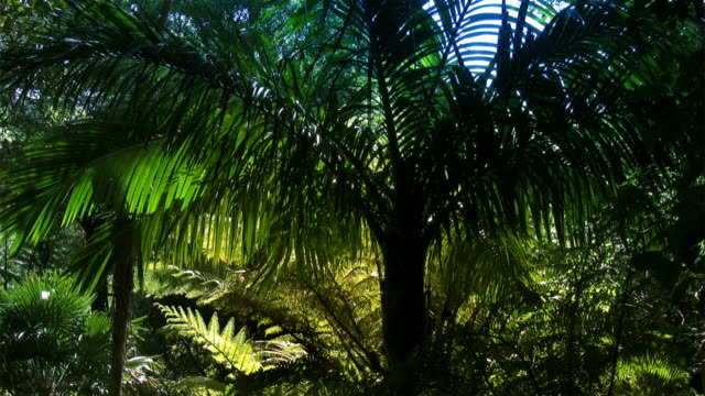 New Zealand tropical forest with Nikau Palm video