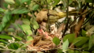 newborn bird, nestling in the nest and feather wings growth story of new born of bulbul bird which see in Thailand video