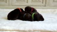 newborn brown labrador retrievers video