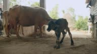 Newborn calf standing on its feet for the first time inside a barn video