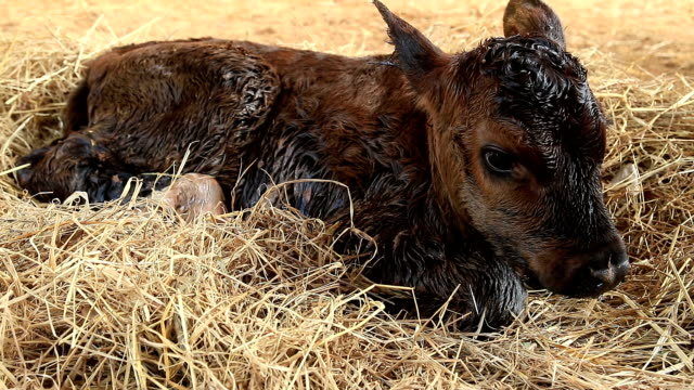 Newborn calf video