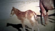 ALBANY, NY. USA - 1953: Newborn foal horse and his mother enjoy the free life of the farm. video