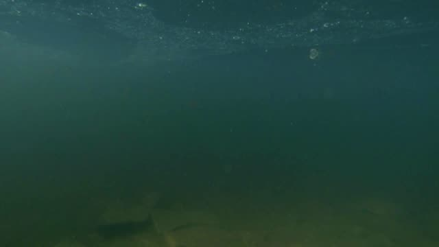 newts float to the surface from the depths to a breath of fresh air video