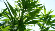 CLOSE UP, DOF: Nice ganja plant leaves swaying in soft summer wind on sunny day video