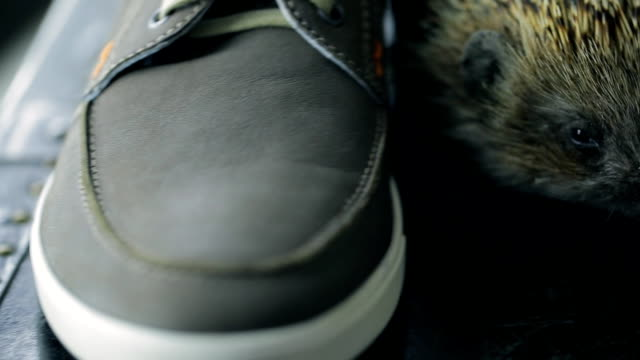 Nice hedgehog between men shoes on table inside on photo shoot video