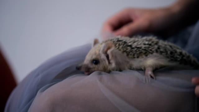 Nice hedgehog sitting on woman legs inside on photo shoot video