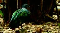 Nicobar Pigeon video