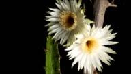 Night Blooming Cereus Cactus Flower timelapse video