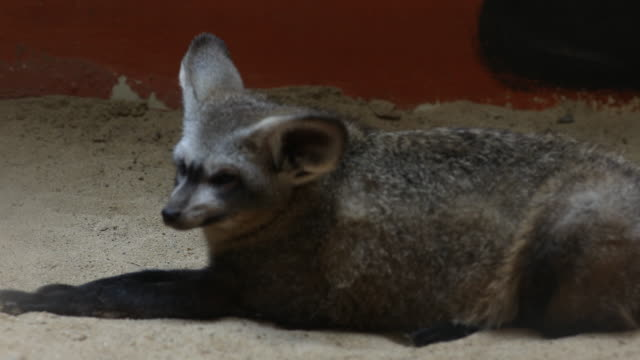 night fox video