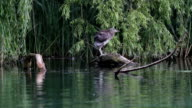 Night Heron in the lake of Rieti Reserve in Italy video
